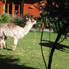 Resident llamas at the hotel.