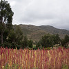 Quinoa in the Sacred Valley