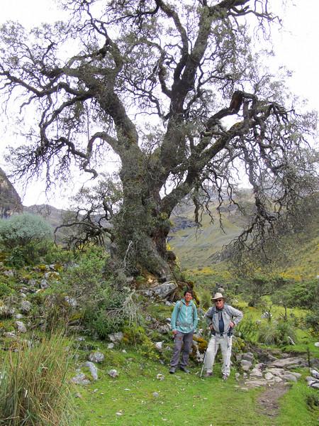 Oldest tree: Quiswa
