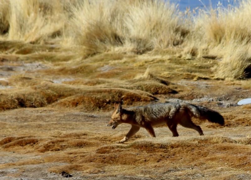 Fox, Slat Flats