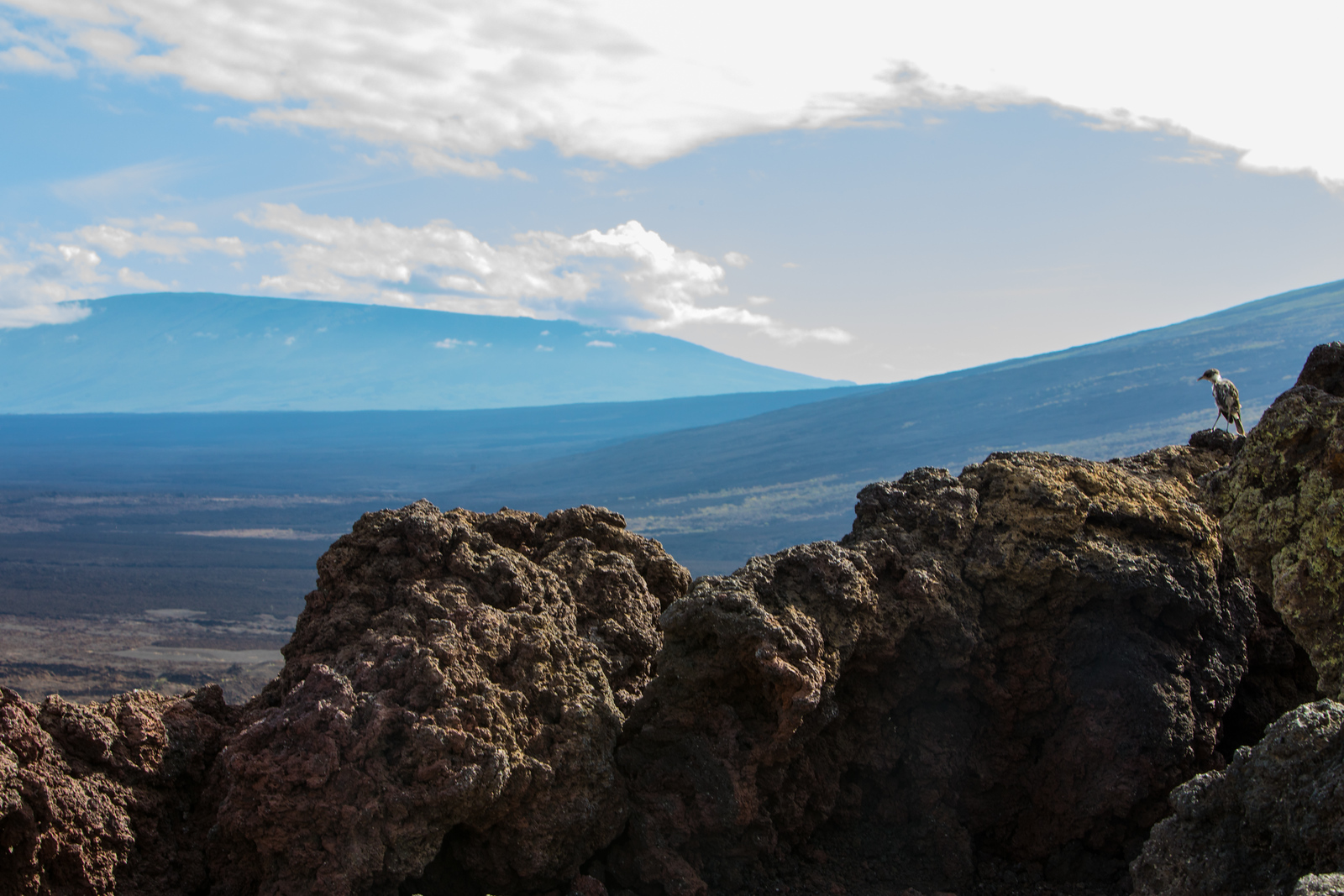 Galapagos Mocking Bird Surveys the View
