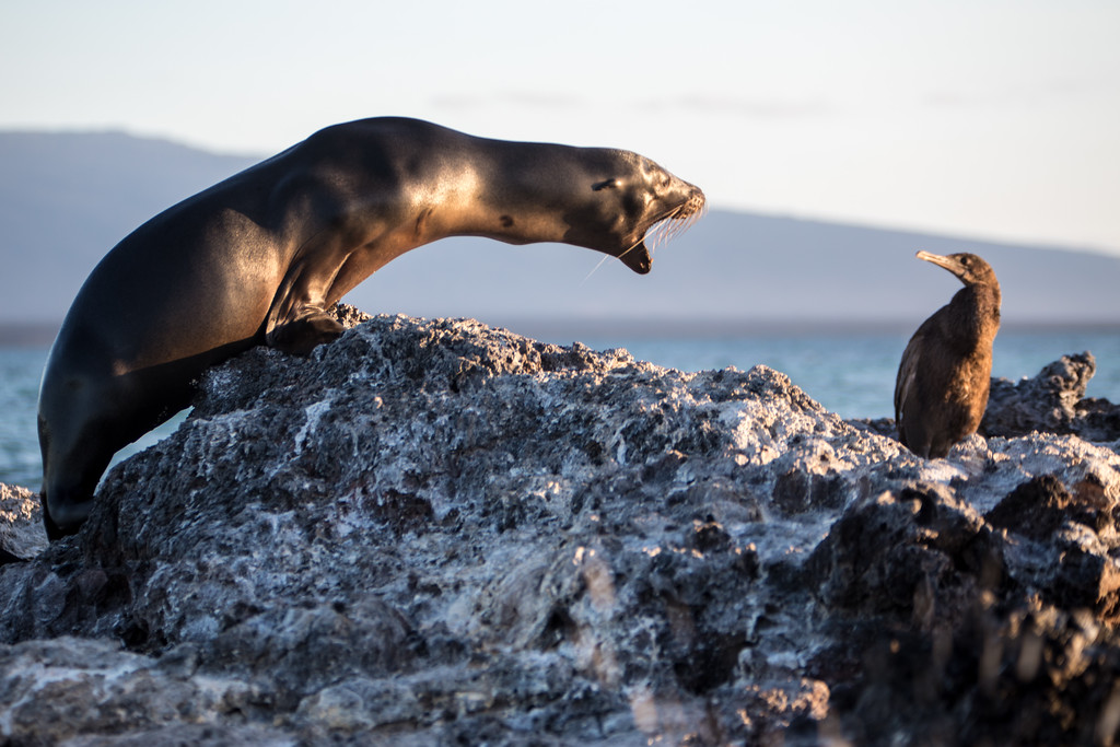 Galapagos Sea Lion vs. Flightless Cormorant