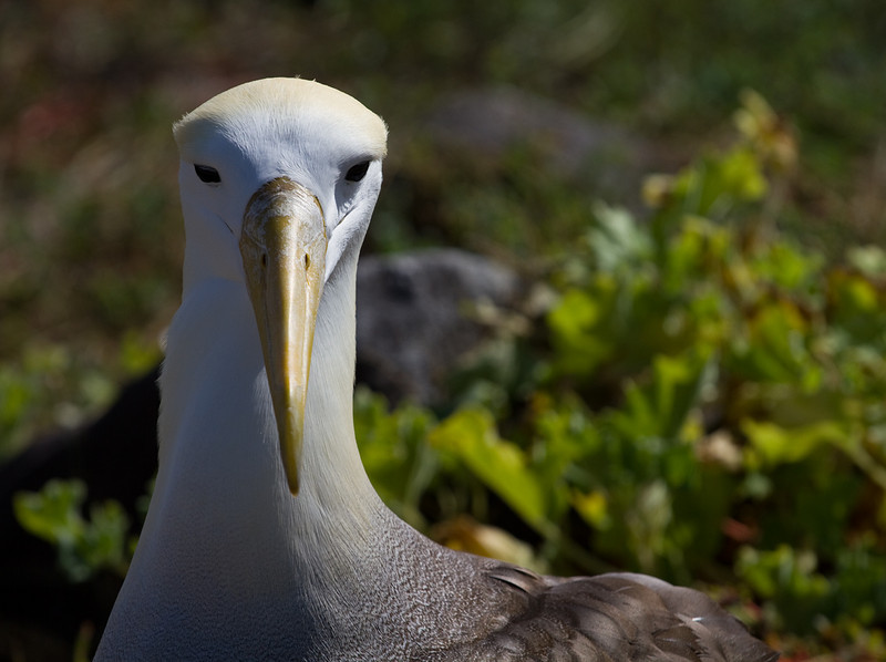 Galapagos (waved) Albatross
