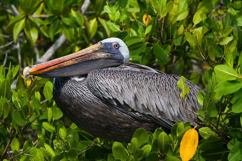 Pelican resting on a tree.