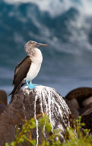 Blue-footed Booby, Espanola