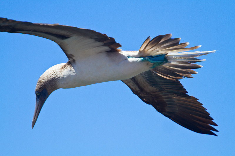 Blue footed booby in flight.