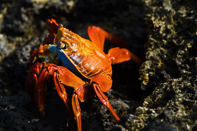 Red crab aka Sally lightfoot crab