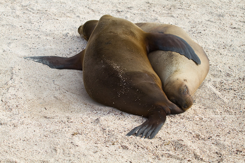 Sea lions spooning