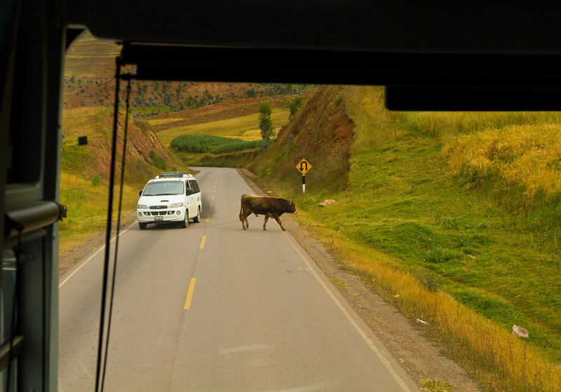 Close call, car almost hit the cow.
