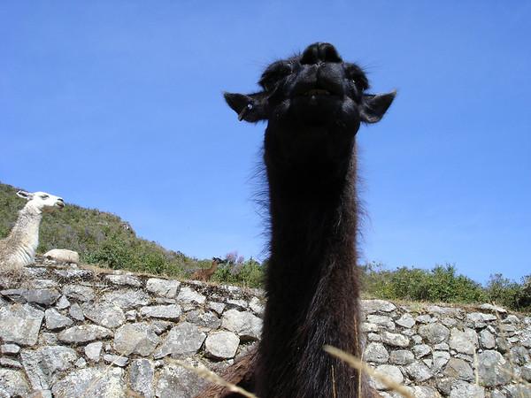 Llama; up close and personal