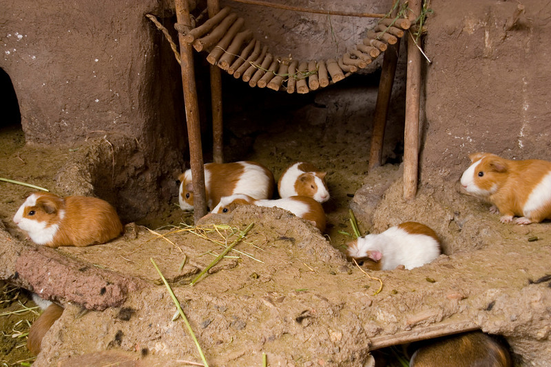 Guinea Pigs; a local delicacy.  Tonight's dinner!