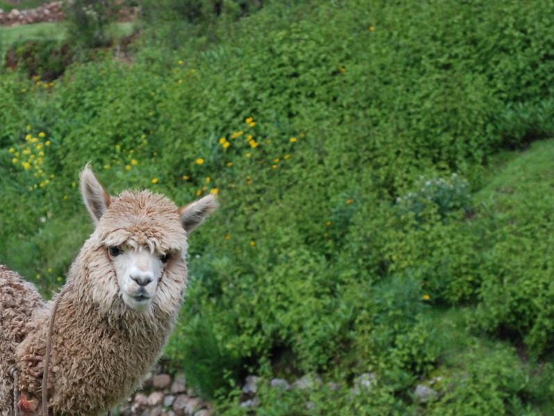 Curious llama at Saqsaywawan.