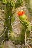 Blooming Cactus at Cruz del Condor