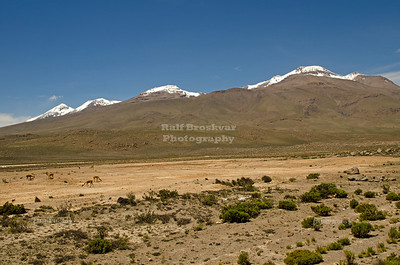 Vicuñas grazing in front of snow capped Andes mountains in the highlands near Arequipa, Peru