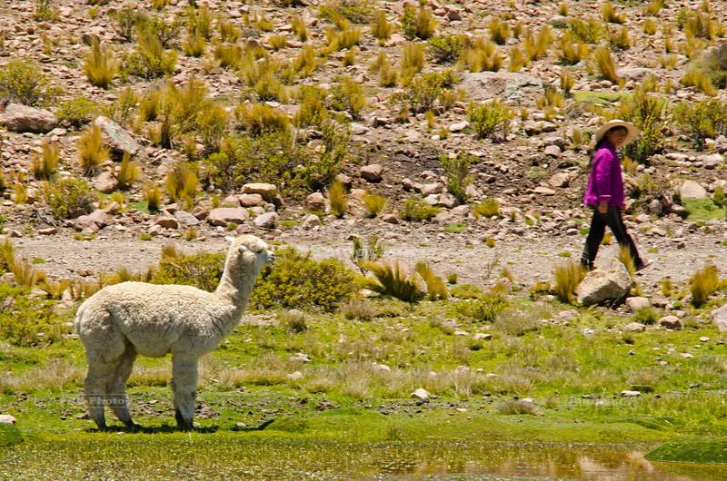 Alpaca Herder, Peru