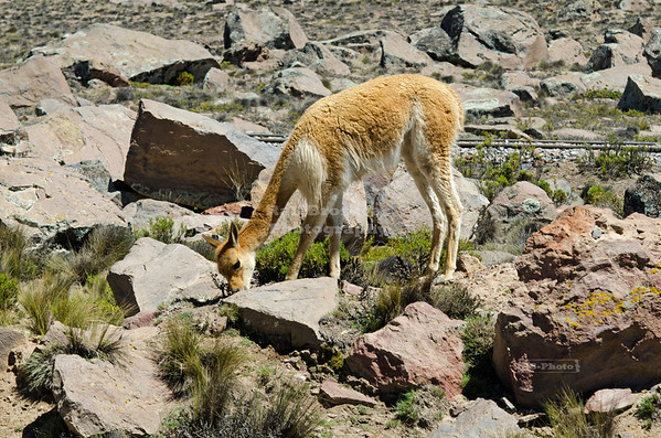 A vicuña, a non-domesticated species of camelids, grazing in the highlands of Pampa Canahuas National Reserve between Arequipa and Lake Titicaca, Peru. Vivuñas were hunted almost to extinction due to their extremely fine and very expensive wool.