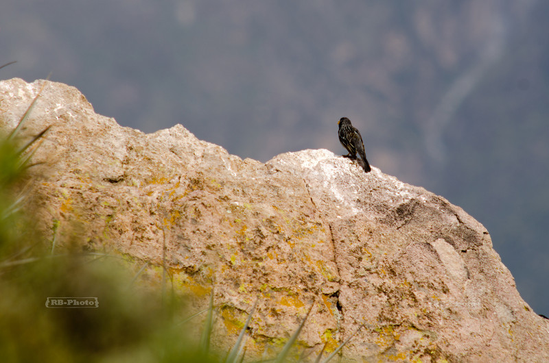 Little bird at Cruz del Condor