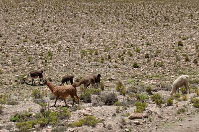 Llamas and Alpacas grazing in the highlands of Pampa Canahuas National Reserve between Arequipa and Lake Titicaca, Peru