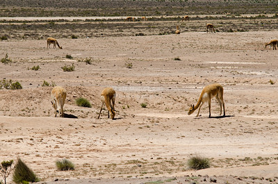 A group of Vicuñas in the high plains of Pampa Canahuas National Reserve, Peru