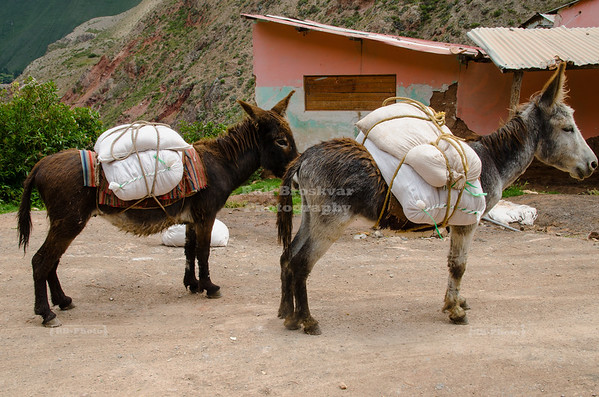 Donkeys in the Maras Salt Mines