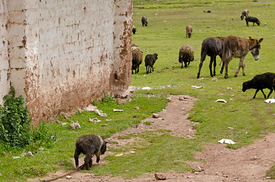 Mules. sheep and pigs on their way to the soccer stadium in Chinchero, Peru