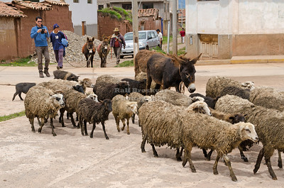 Sheep, mules and pigs crossing the street in Chinchero, Peru