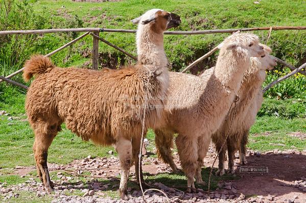 A Llama and 2 Alpacas, Peru