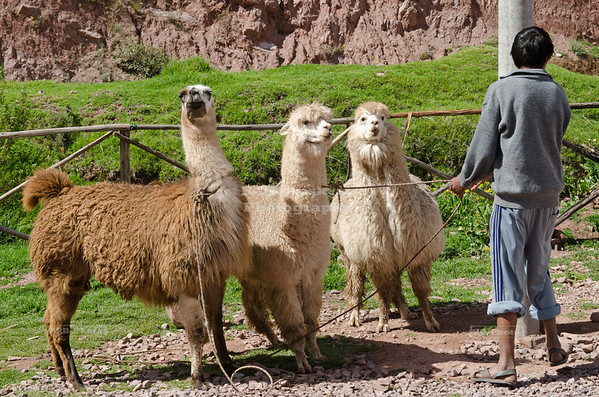 A local herdsman brings a Llama and 2 Alpacas to a Peruvian outdoor market for the tourists. Later on he covered himself with a colorful poncho and pretended to be authentic Inca. Want take picture? Only dos Soles.