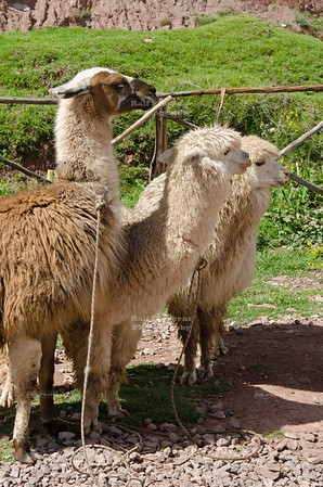 Llamas and Alpacas in the Sacred Valley of the Incas, Peru