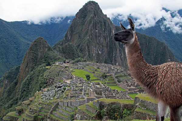 Llama 4835<br /> Llama on one of the terraces at Machu Picchu. They are used to keep the grass down.