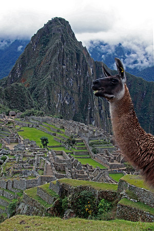 Llama 4834<br /> Llama on one of the terraces at Machu Picchu. Huayna Picchu is in the background. The Llamas are used to keep the grass down on Machu Picchu.
