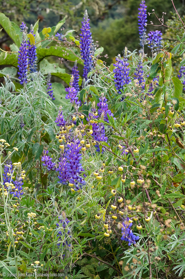 Lupinus, commonly known as lupin or lupine is all over the Andes.