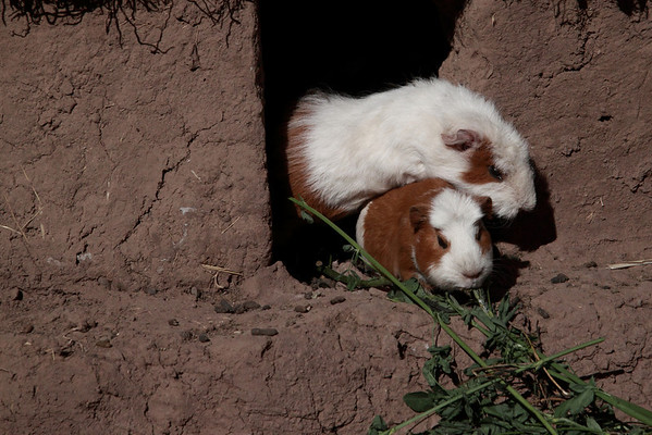 Family Farm 5837<br /> Guinea pigs are raised for food.