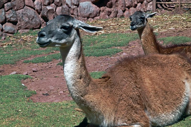 Pisac 3701<br /> Llamas at Awana Kancha, a weaving cooperative and farm for Llamas and Alpacas.