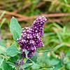 Quinoa Flowers