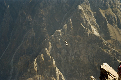 Condors Over Colca Canyon