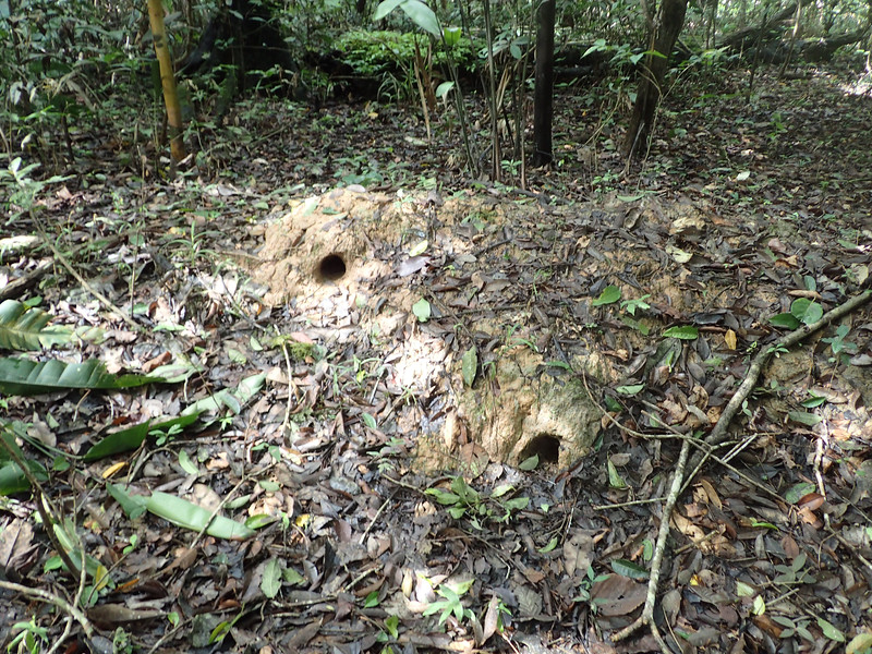 These holes are used by fish during the rainy season when this forest  is flooded.