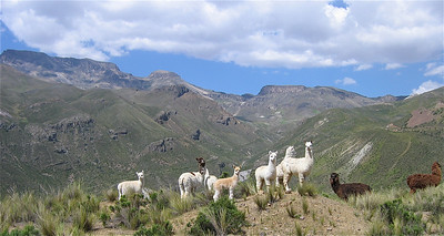 Alpaca's in de Colca Valley, Peru.