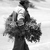 Man delivers alfalfa Bella Union, Peru