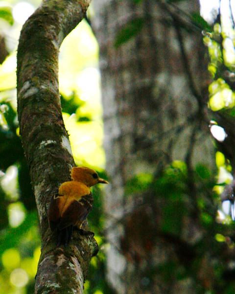 Creamy woodpecker