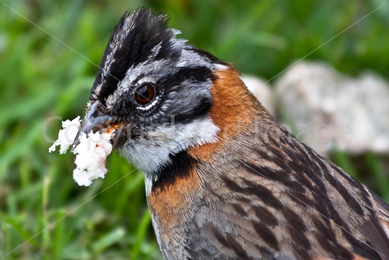 Andean Sparrow