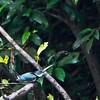 Amazon Kingfisher
