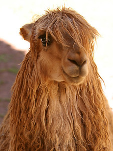 "I'm an alpaca, not a llama. LLamas have curved ""banana shaped ears""."