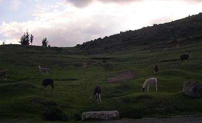Field of Alpacas.