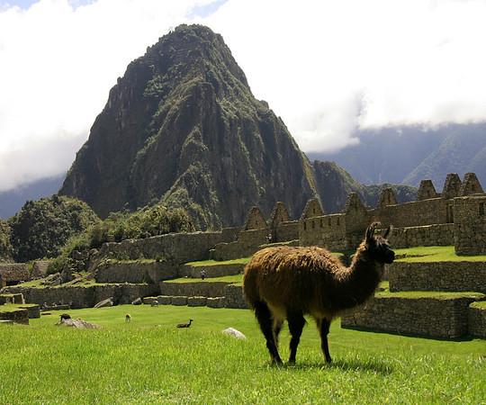 llamas roam free at Machu Pichu