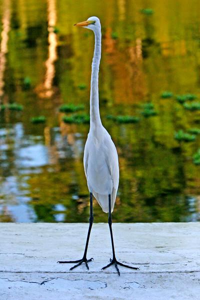 Jaunita the House Egret