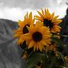 Sun flowers in Peru