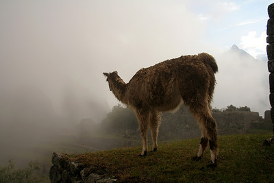 lama in dawn mist