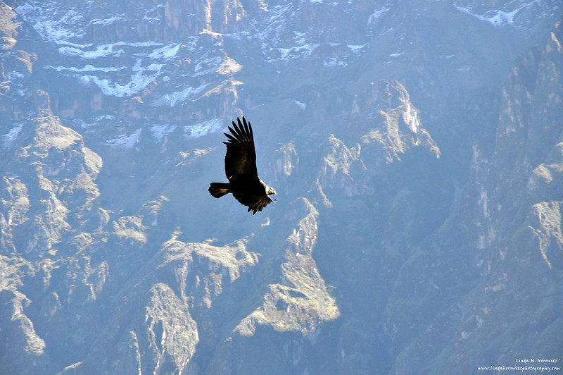 Condor in Flight B - Copy