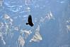 Condor in Flight B - Copy